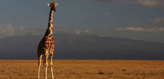 A giraffe takes stock at Kenya's Ol Pejeta Conservancy, where Social Assessment of Protective Area fieldwork has started