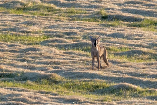Barking coyote