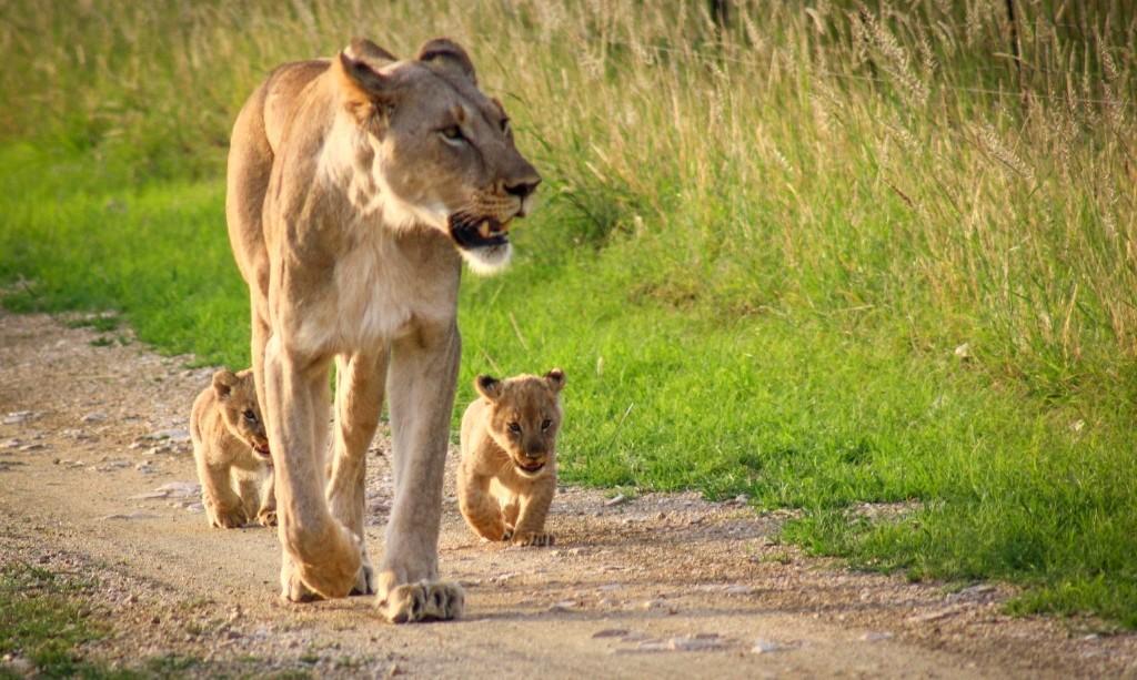 Leeuwen in Tanzania