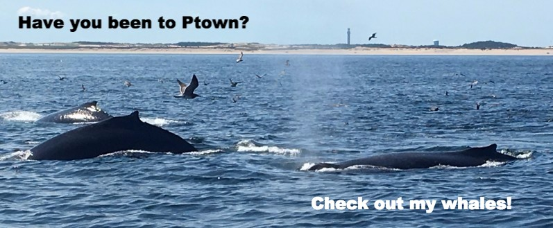 Provincetown Whales