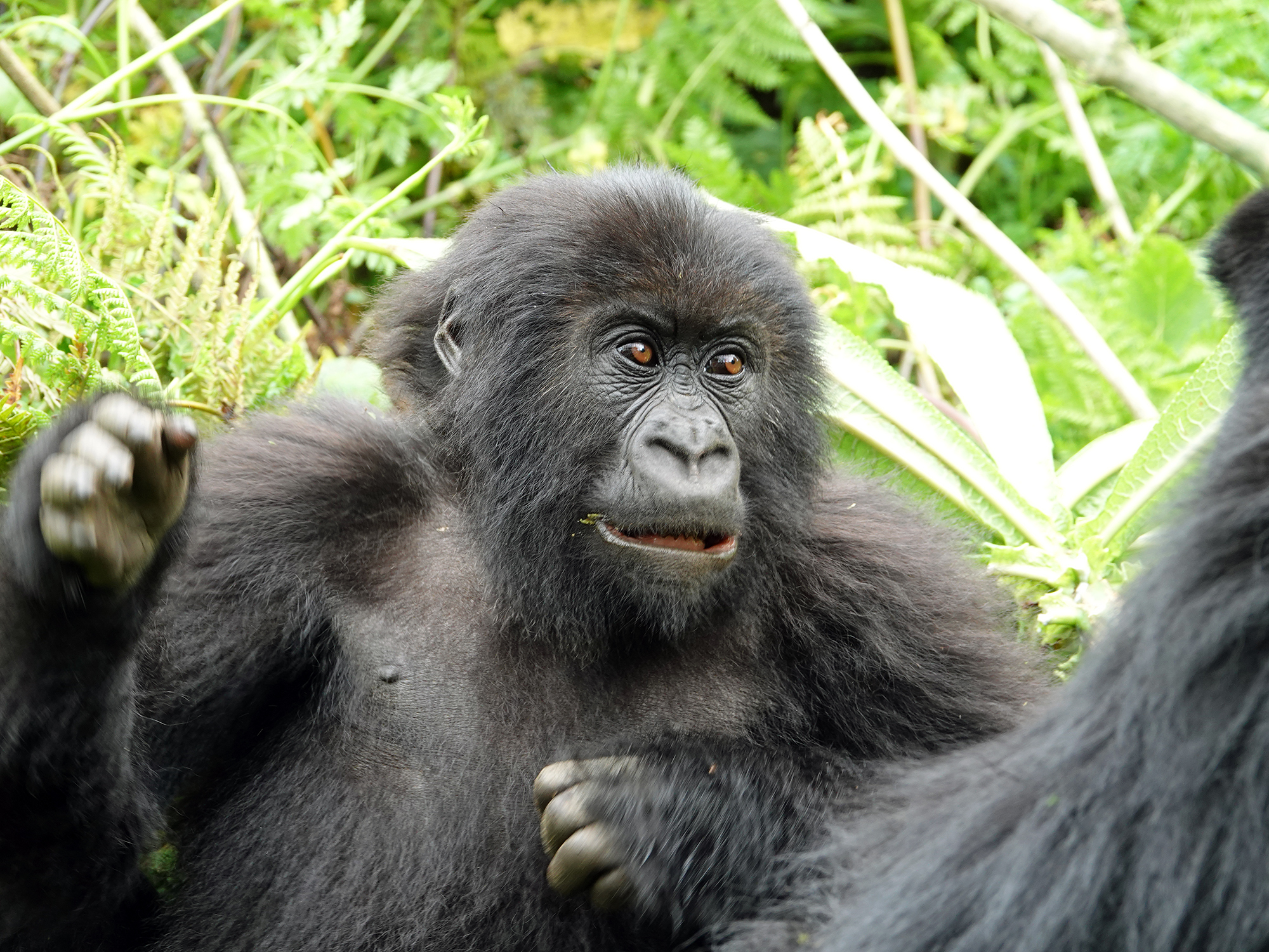 A 3 year old male mountain gorilla from the Titus family in Rwanda