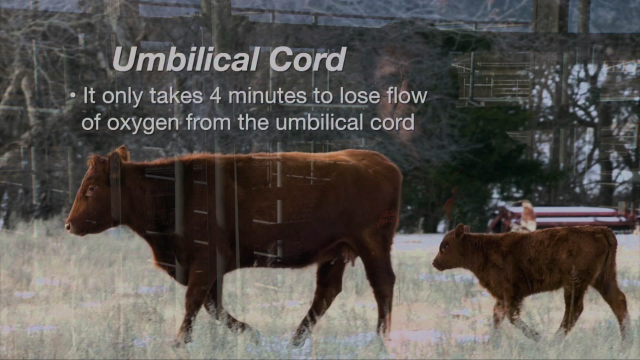 Cow-Calf Corner: Repeatability of Calving Difficulties (2/06/16)