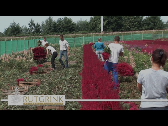 Summerflowers Promo - Kwekerij Rutgrink Astilbe Culturen