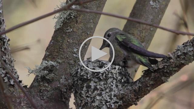 Anna's Hummingbird Nests 2015