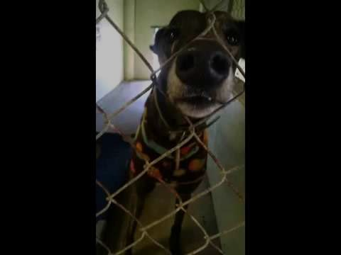 Couch Caretaker Greyhound