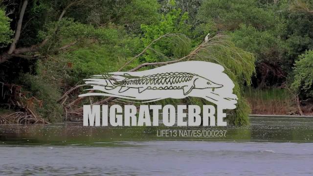 MIGRATOEBRE (Español)