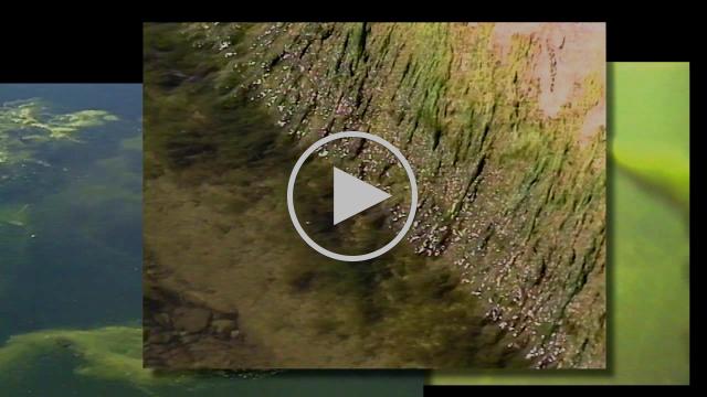 Excess algae and phosphorus in the Bay of Quinte