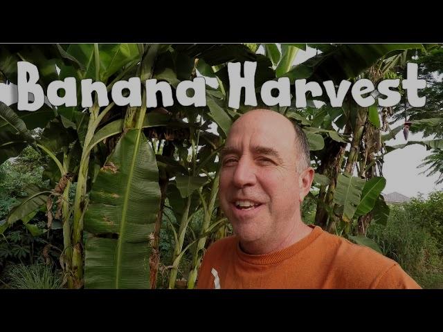 Harvesting bananas in Ghana