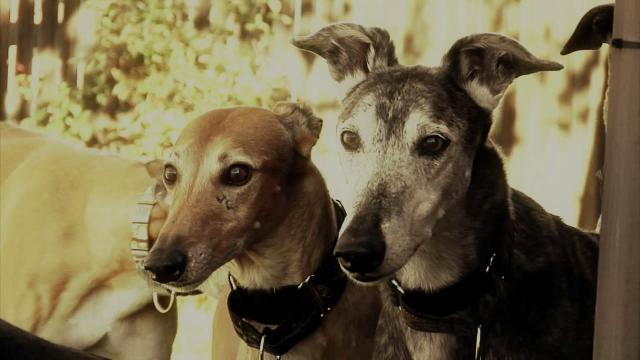Adopt a Greyhound Month Promo Video