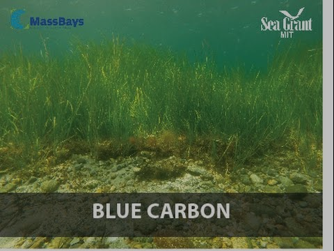 """link to youtube video, """"Green eelgrass, Blue carbon"""""""