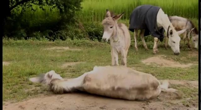 Animal Nepal Donkey Sanctuary