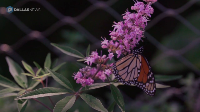 Monarch butterflies are in town