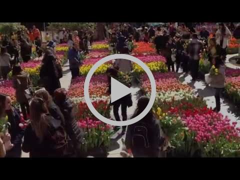 American Tulip Day Scene