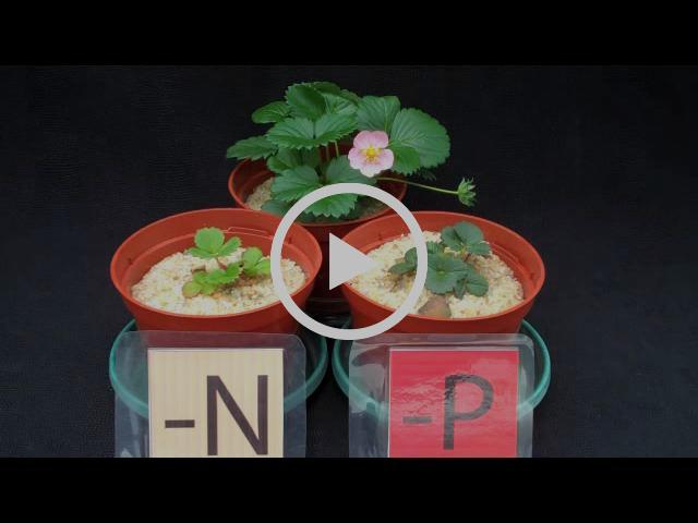 Strawberry Diagnostics: Nitrogen vs Phosphorous Deficiency