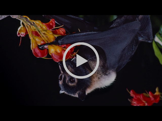 Merlin Tuttle introduces the importance of conserving bats