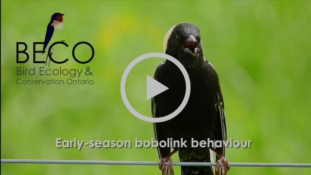 Early-season bobolink behaviour
