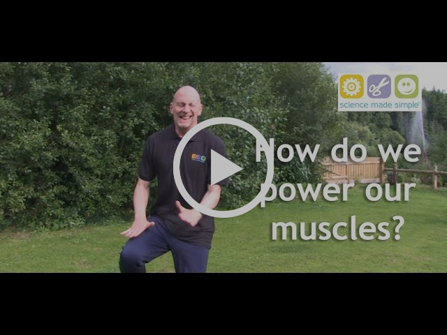How do we Power our Muscles?