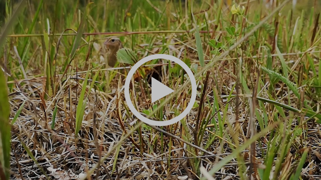 Grasshopper sparrow nest - video