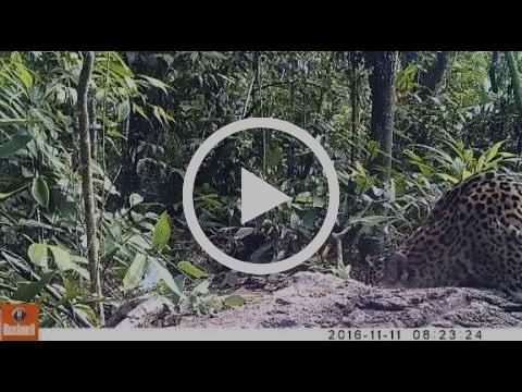 Jaguar silvestre en Jacj Cuisi