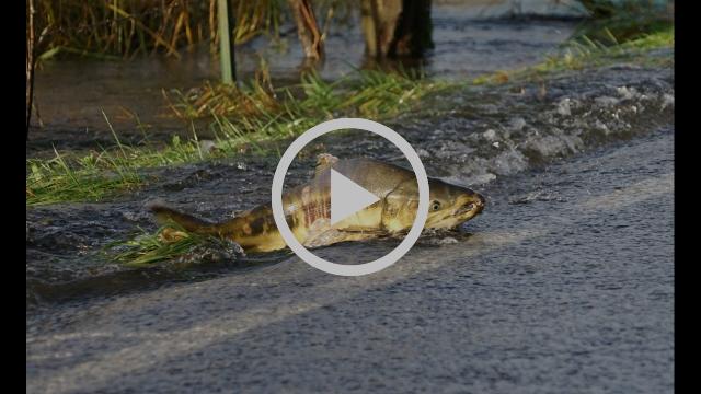 Salmon crossing the road, Skokomish River, WA, 2016
