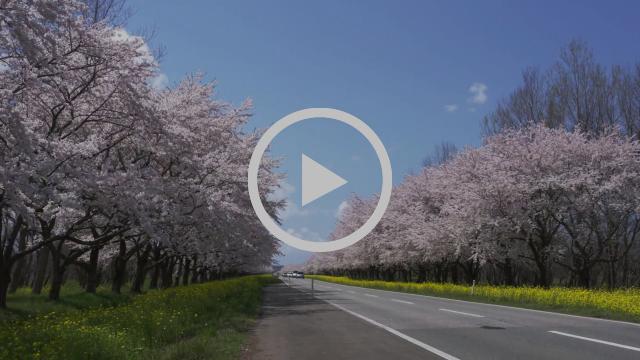 The Cherry Blossoms of Tohoku 2017